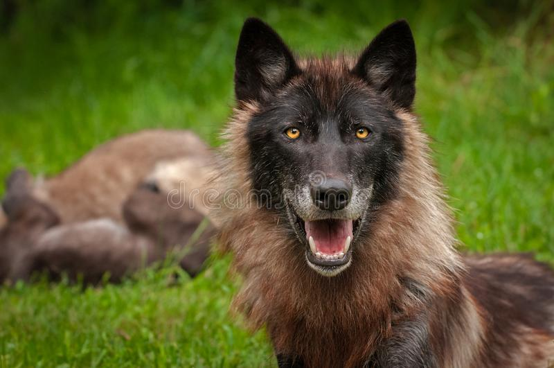 Popielatego wilka Canis lupus Z ciuciami w tle zdjęcia stock