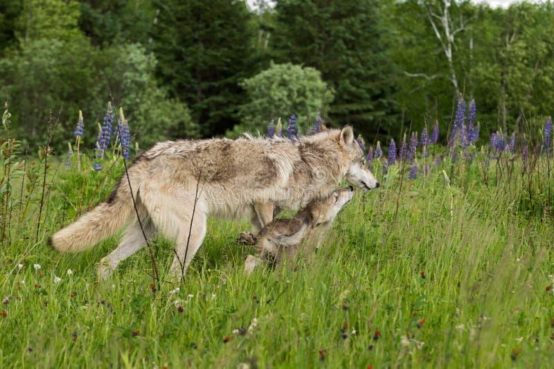 Popielatego wilka roczniak Dostaje Liżącym ciucią (Canis lupus) obrazy royalty free