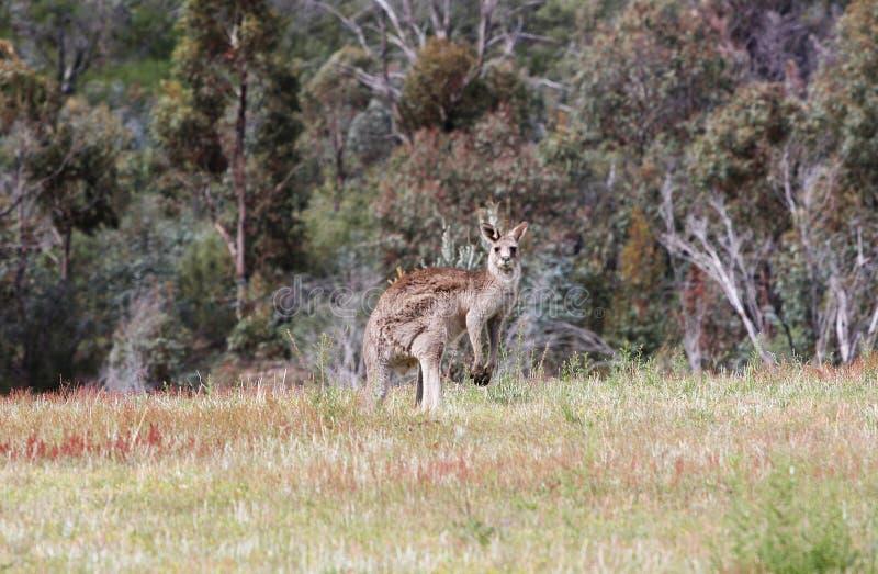 popielaty Australijczyka kangur obraz royalty free