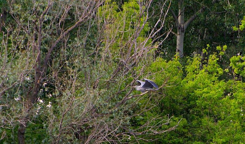 Popielaty czapli ptak zdjęcie royalty free