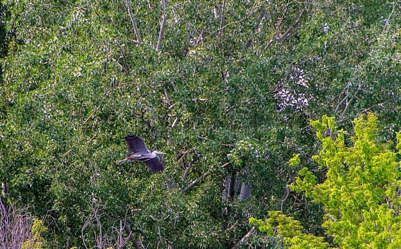 Popielaty czapli ptak obraz stock