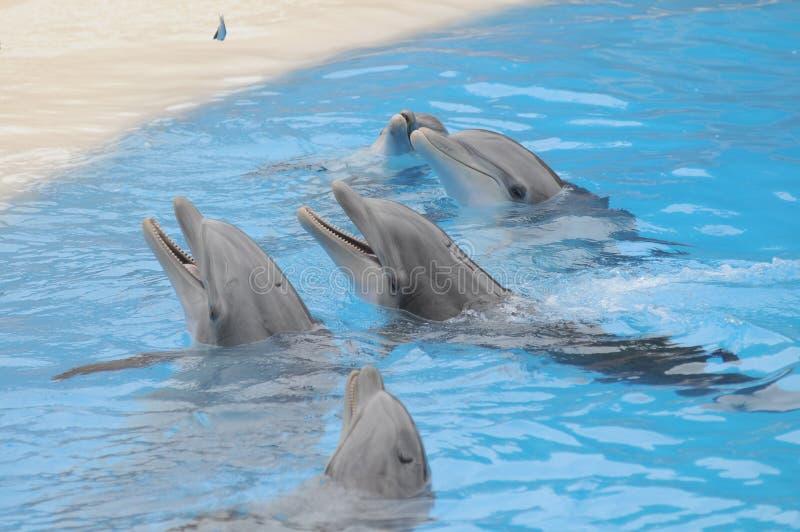 Popielaty delfin na Prawdziwej błękitne wody fotografia stock
