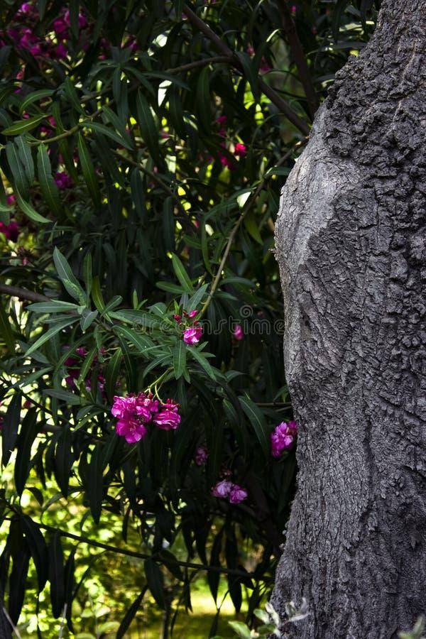 Popielaty drzewo z menchia kwiatem zdjęcie stock