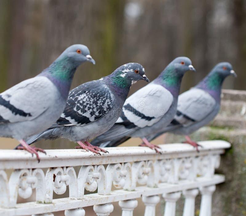 Popielaty gołębi ptasi zbliżenie fotografia royalty free