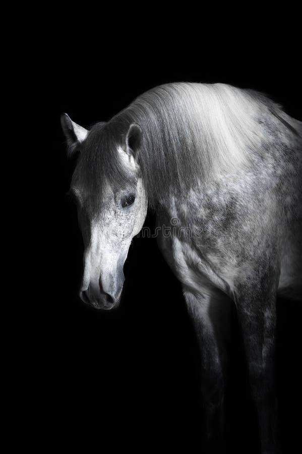 Popielaty koń na czarnym tle obrazy royalty free