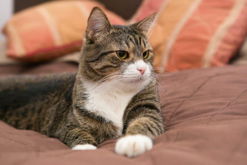 Popielaty kot kłama na łóżku obrazy stock