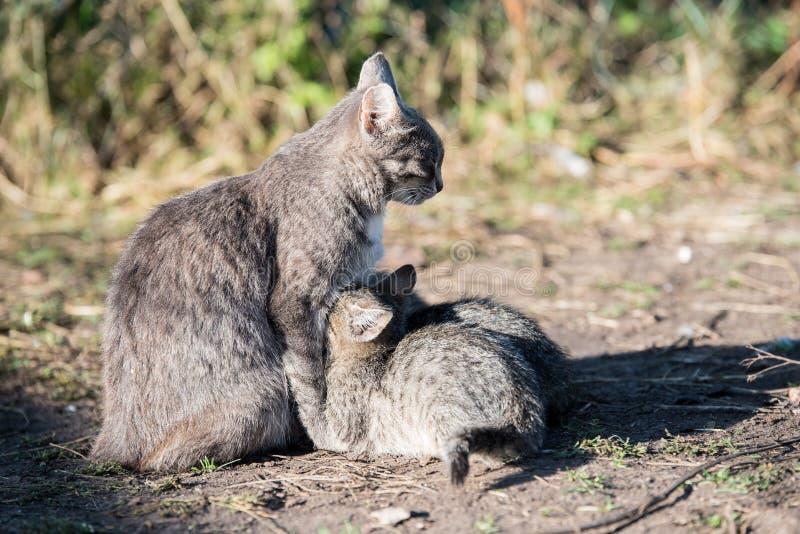 Popielaty kot karmi trzy figlarki obrazy stock