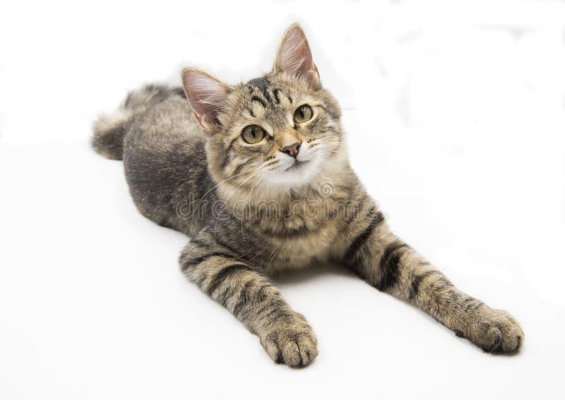 Popielaty kot odizolowywający obraz royalty free