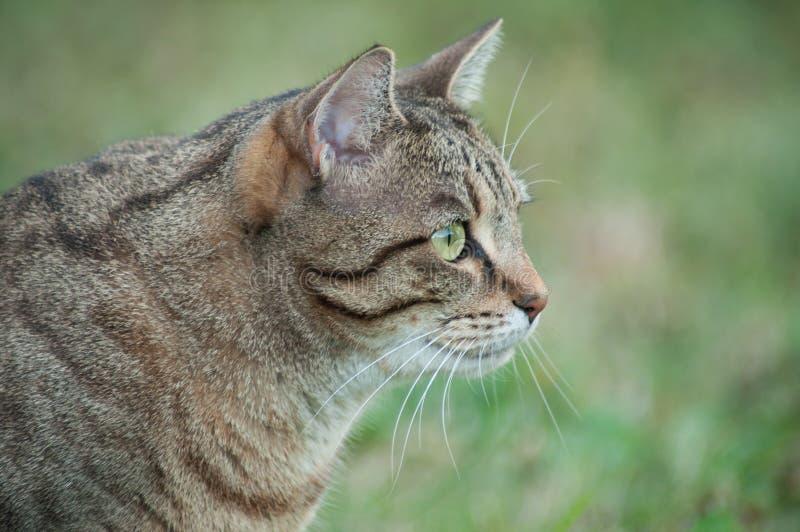 Popielaty kot patrzeje zdobycze w ogródzie fotografia royalty free