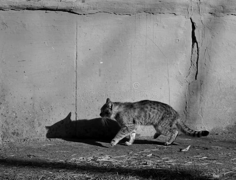 Popielaty kot z cieniem iść blisko popielatej ściany Pekin, china słoneczny dzień zdjęcia royalty free