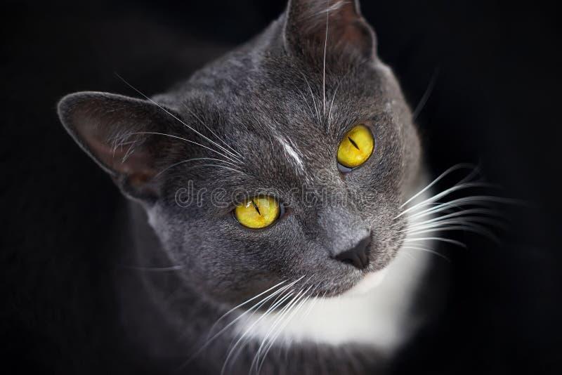 Popielaty kot z jaskrawymi żółtymi oczami siedzi w ciemności fotografia stock
