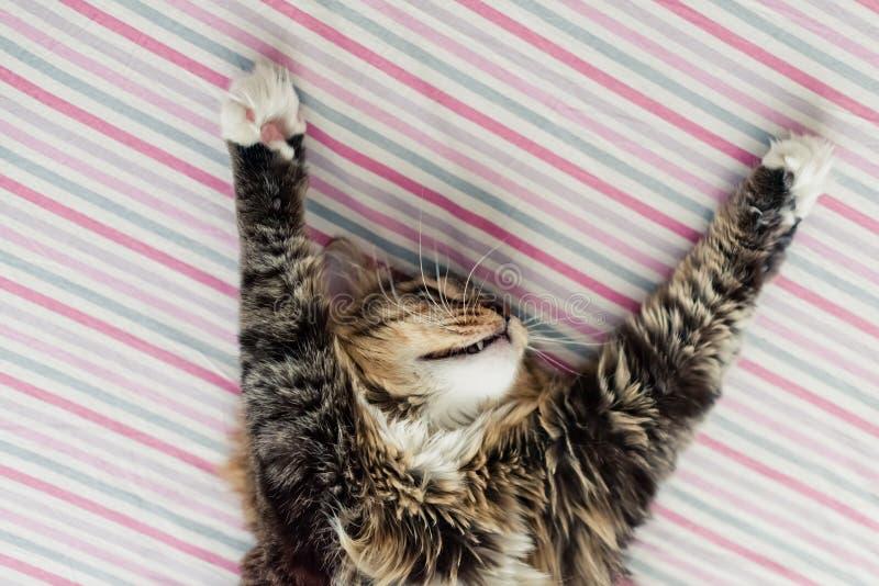 Popielaty kota lying on the beach na łóżku obraz stock