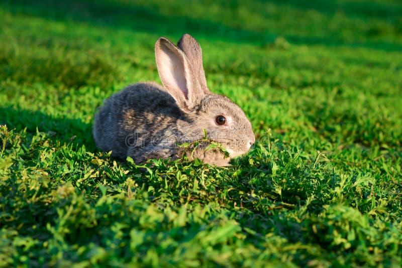 Popielaty królik na zielonym gazonie obraz stock