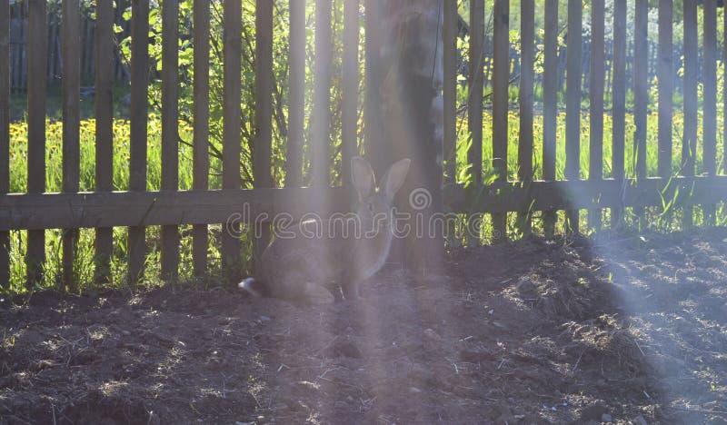 Popielaty królik w ogródzie blisko ogrodzenia zdjęcia royalty free