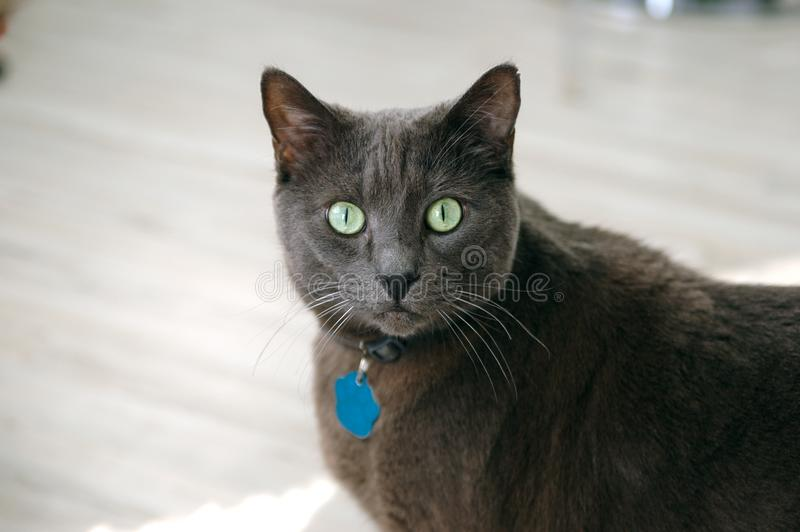 Popielaty Krótkiego włosy kot z Zielonymi oczami zdjęcie stock