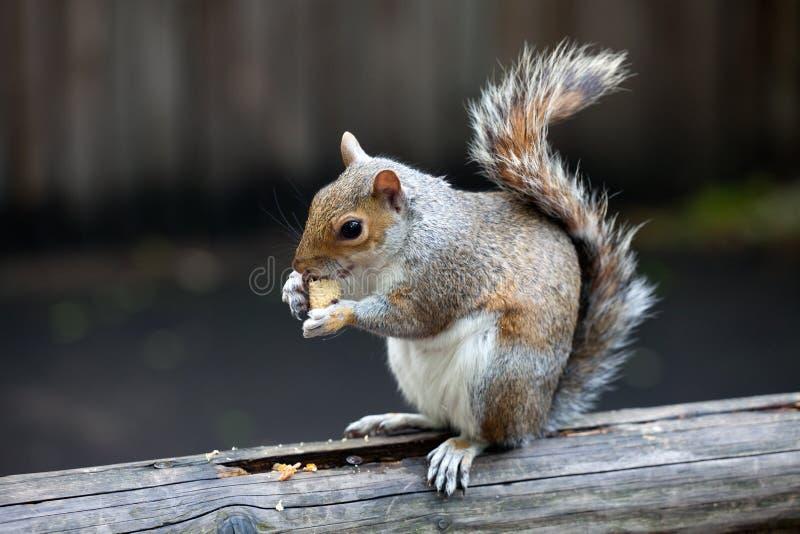 popielaty London park jeden wiewiórka fotografia stock