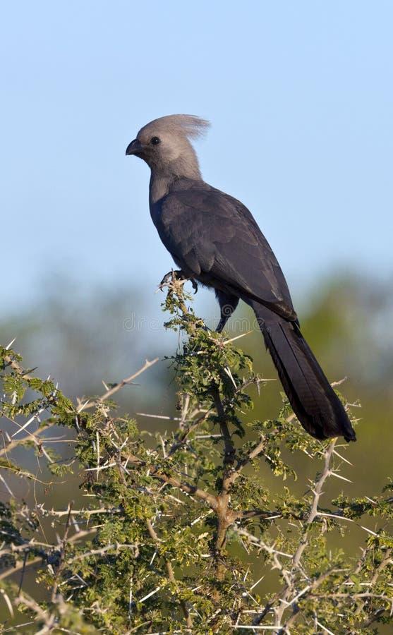 Popielaty Lourie lub oddalony Ptak - Botswana fotografia stock