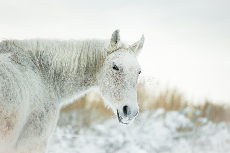 Popielaty mieszanka trakenu koń w zimie fotografia stock