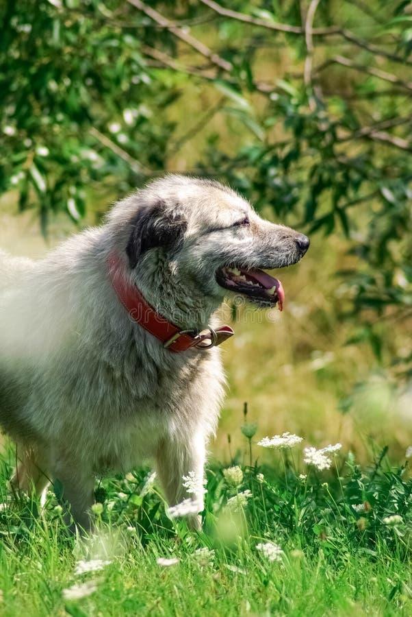 Popielaty pasterski pies w zielonej trawy tle zdjęcia royalty free