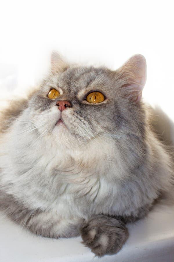 Popielaty puszysty kot na okno patrzeje w g obraz stock