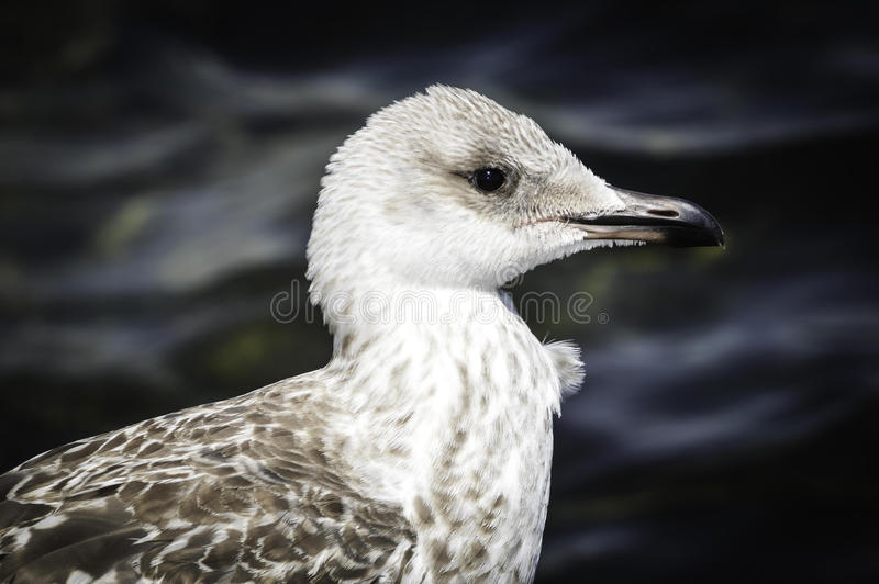 Popielaty seagull obraz royalty free