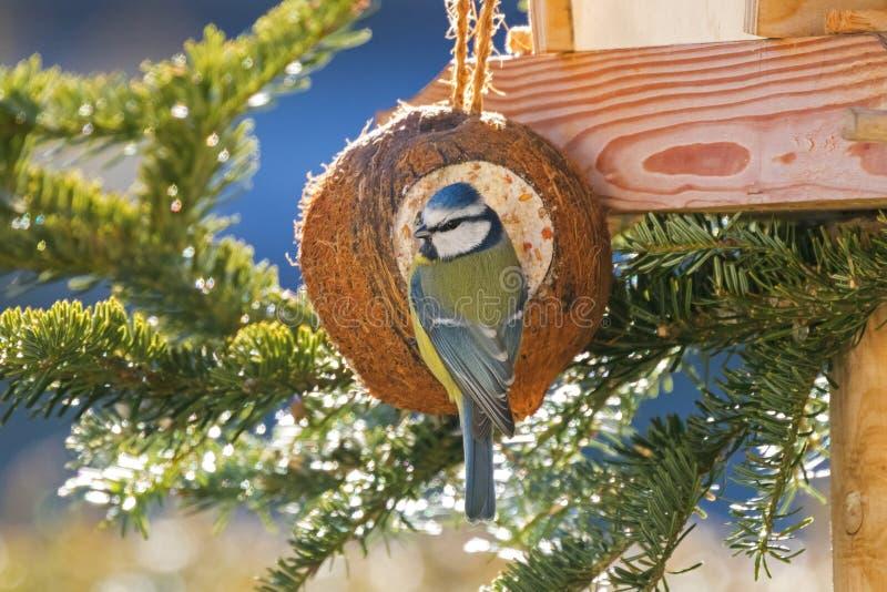 Popiera Eurazjatyckiego Błękitnego Tit ptasiego łasowania ptasi dozownik, kokosowy Shell zdjęcia royalty free