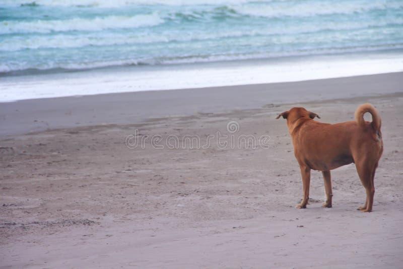 Popiera pojedyncza brązu psa pozycja na piaskowatej plaży i przyglądającym morzu obraz stock