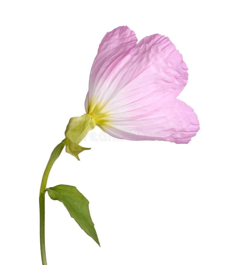 Popiera różowy wieczór pierwiosnku kwiat odizolowywający przeciw bielowi obrazy stock