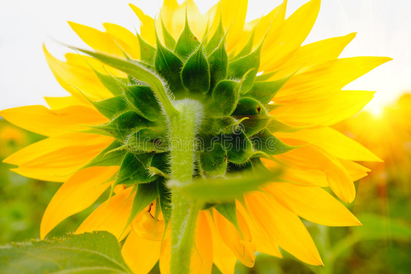 Popiera słonecznika pole pod słońce wzrostem z ciepłym racą fotografia stock