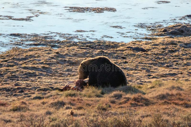 Popiera zaświecającego grizzly niedźwiedzia karmi na łosia łydkowym ścierwie Yellowstone rzeką w Hayden dolinie w Yellowstone NP  fotografia stock