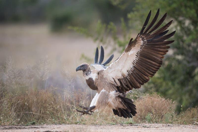Popierający sęp z skrzydłami szeroko rozpościerać obrazy royalty free