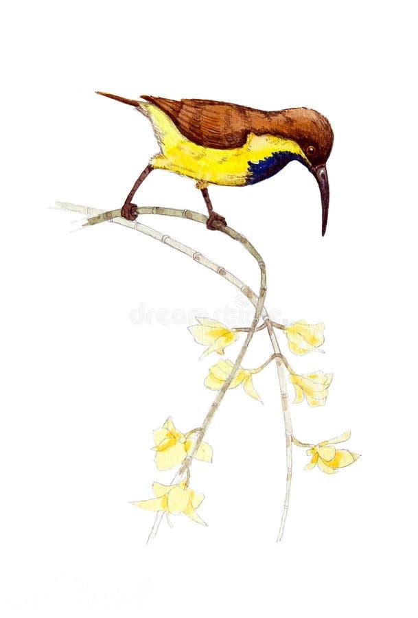 Popierający sunbird, Bellied sunbird ilustracji