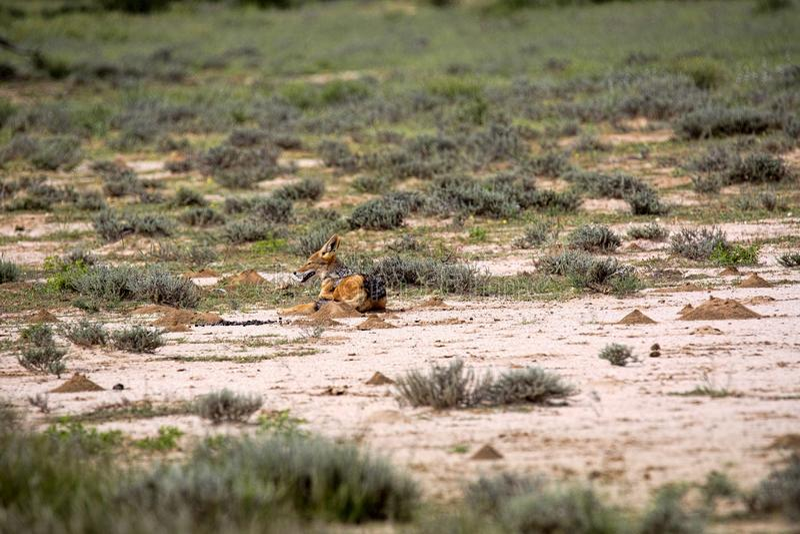 Popierający szakal, Canis mesomelas w gemsbok parku narodowym, Kalahari Południowa Afryka fotografia stock