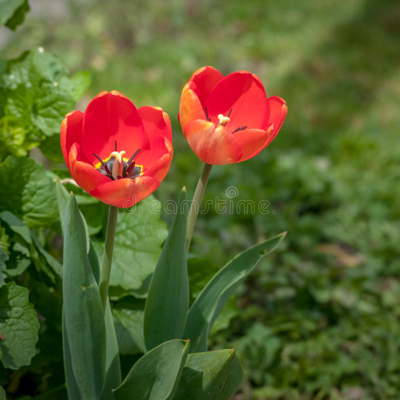 popies röda vallmor isolerade den stora dekorativa blommaträdgården för bakgrund vallmowhite royaltyfria foton