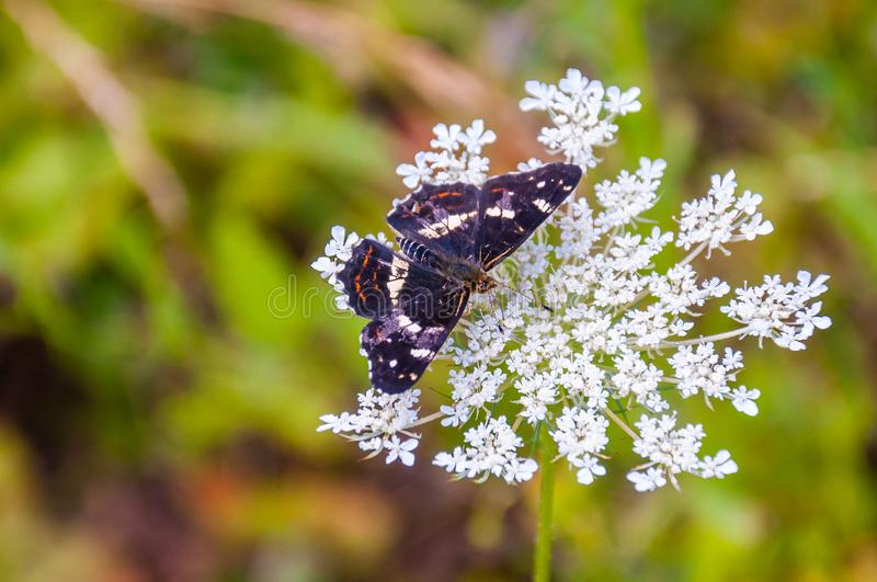 The poplar admiral, Limenitis populi butterfly sitting on white wild blooming Pimpinella Saxifraga or burnet-saxifrage flower. royalty free stock photography