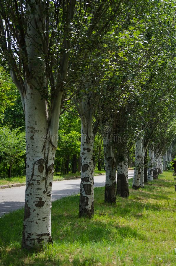 Poplar alley along the city street. Spring walk in his native city. stock photography