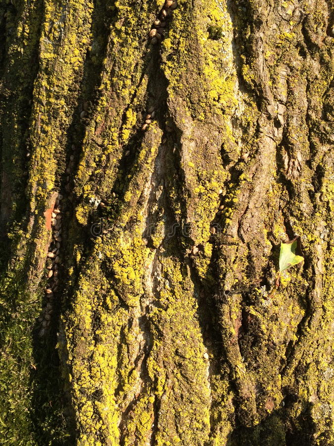 Poplar bark royalty free stock photos