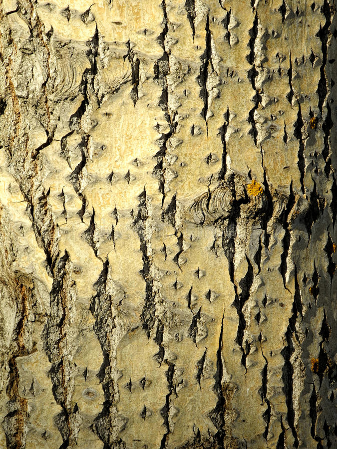 Download Poplar bark stock image. Image of tree, thick, wild, poplar - 31425317