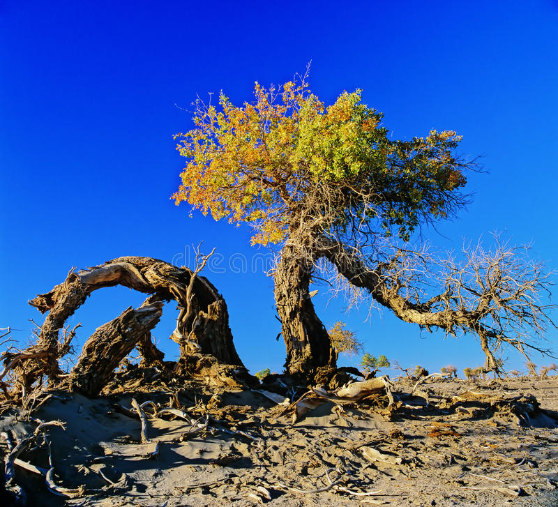 Download Poplar in the desert stock photo. Image of ecology, many - 25527814