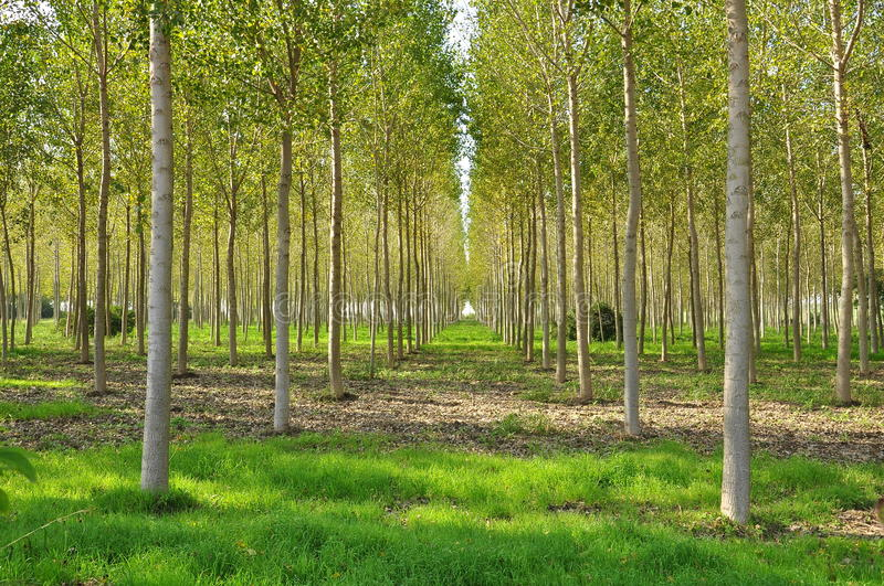 Poplar field in Lombardy, Italy. royalty free stock image