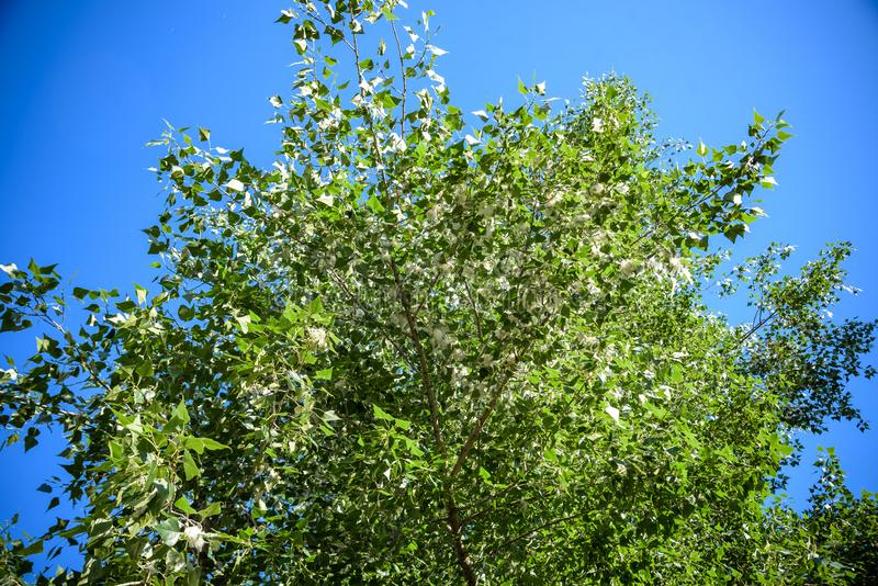Poplar fluff on the branch among green grass. White fluff from poplar trees, allergies symptoms.  royalty free stock photo
