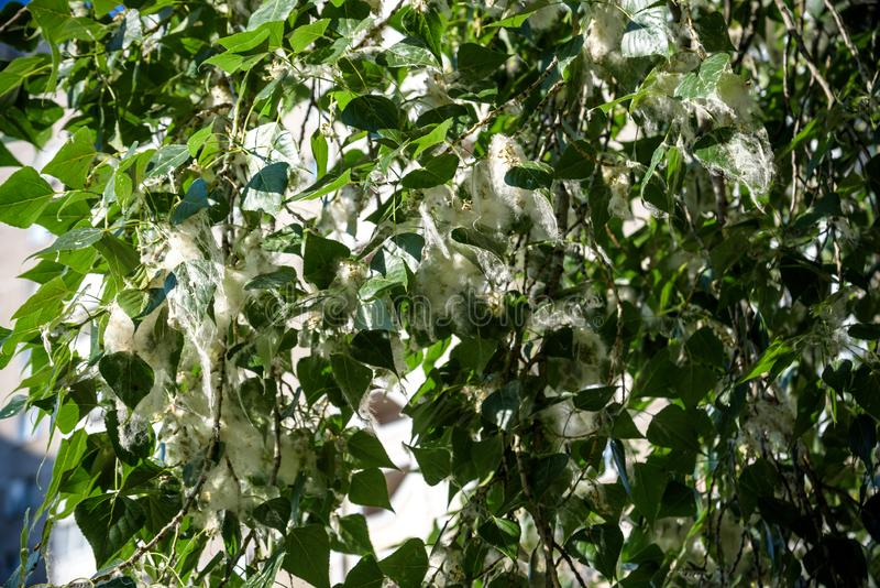Poplar fluff on the branch among green grass. White fluff from poplar trees, allergies symptoms.  royalty free stock photography