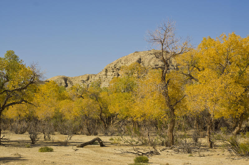 Download Poplar forest in autumn stock image. Image of tree, moutain - 27669177