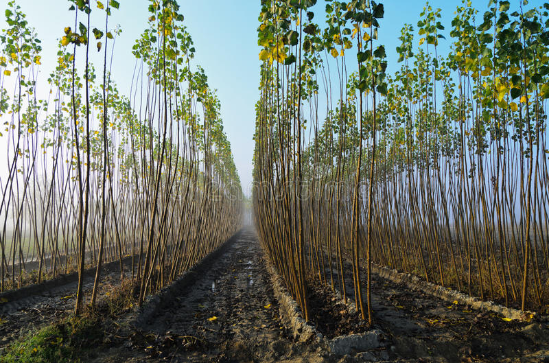 Download Poplar grove stock photo. Image of agriculture, bark - 31940448
