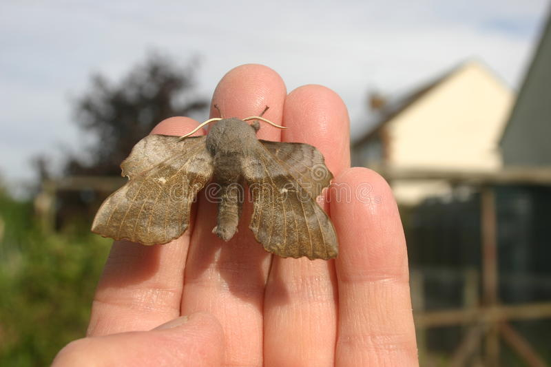 Poplar hawk moth on hand. Poplar hawk moth (Laothoe populi) on a hand to show scale with buildings and trees in the background royalty free stock photo