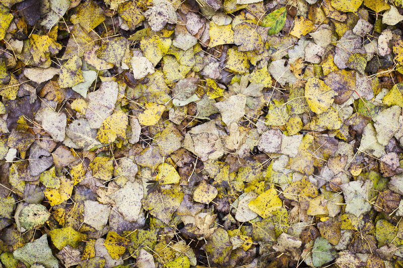 Download Poplar Leaf Background stock image. Image of season, autumn - 27842007