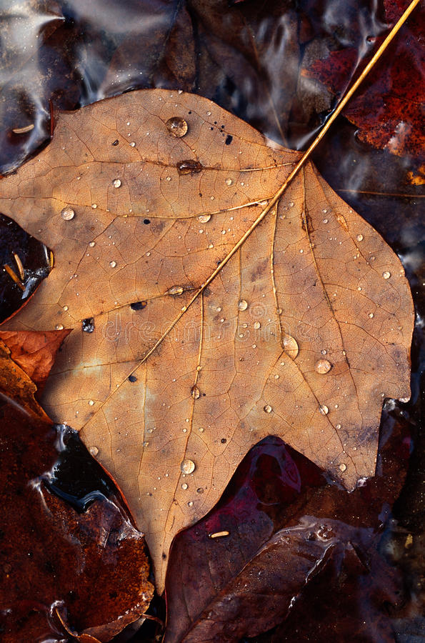 Poplar leaf and water droplets