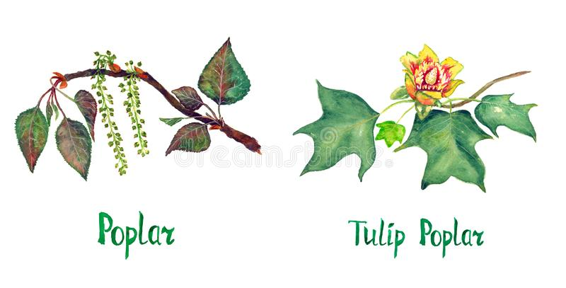 Poplar Populus nigra and Tulip poplar Liriodendron tulipifera or American tulip tree branch with green leaves and flower. Hand painted watercolor illustration royalty free illustration