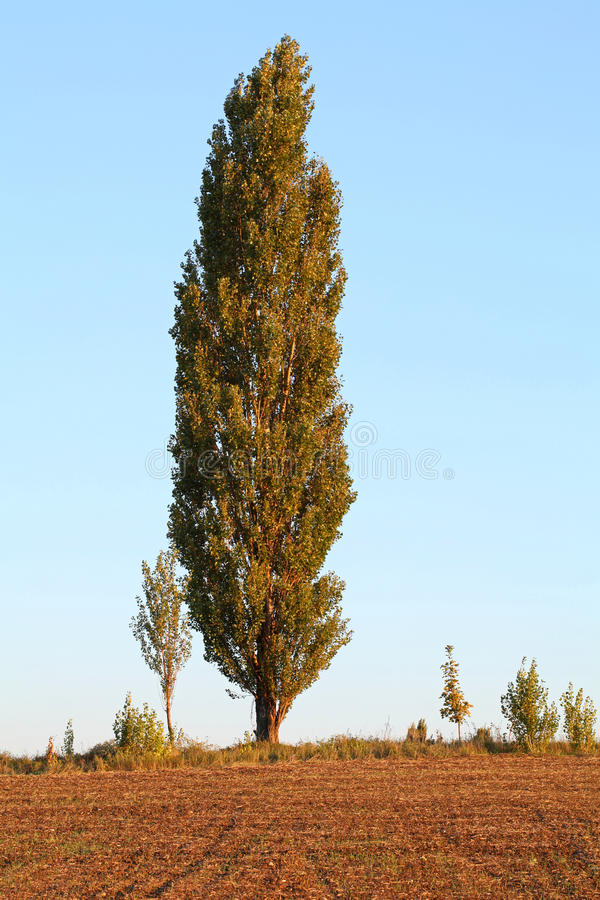 Download Poplar Tree stock image. Image of hill, field, natural - 15927499