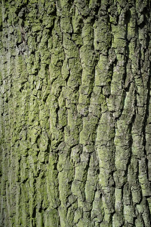 Poplar Tree Bark or Rhytidome covered with Moss Texture Detail stock image